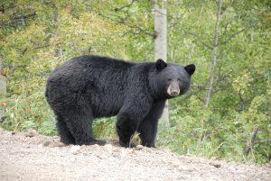 2015-06-24-06-28-07-Black-bear1